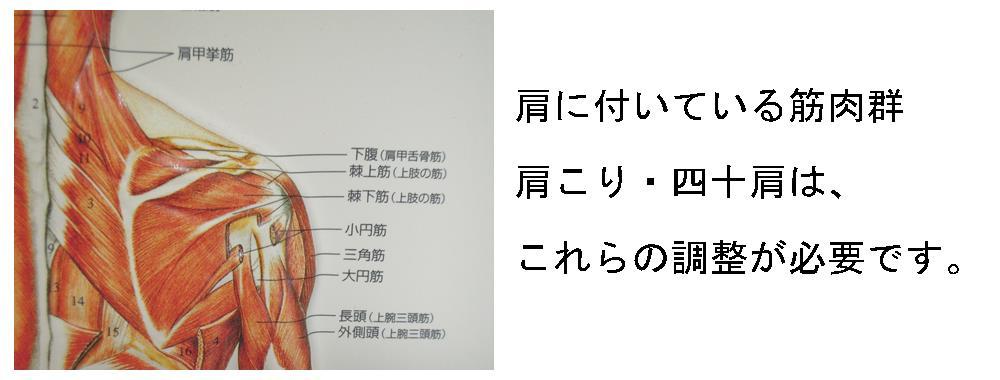 生駒市の自律神経専門整体院、理楽ウェーブの肩の筋肉群