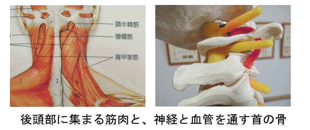 生駒市の自律神経専門整体院「理楽ウェーブ」の首の骨と筋肉画像