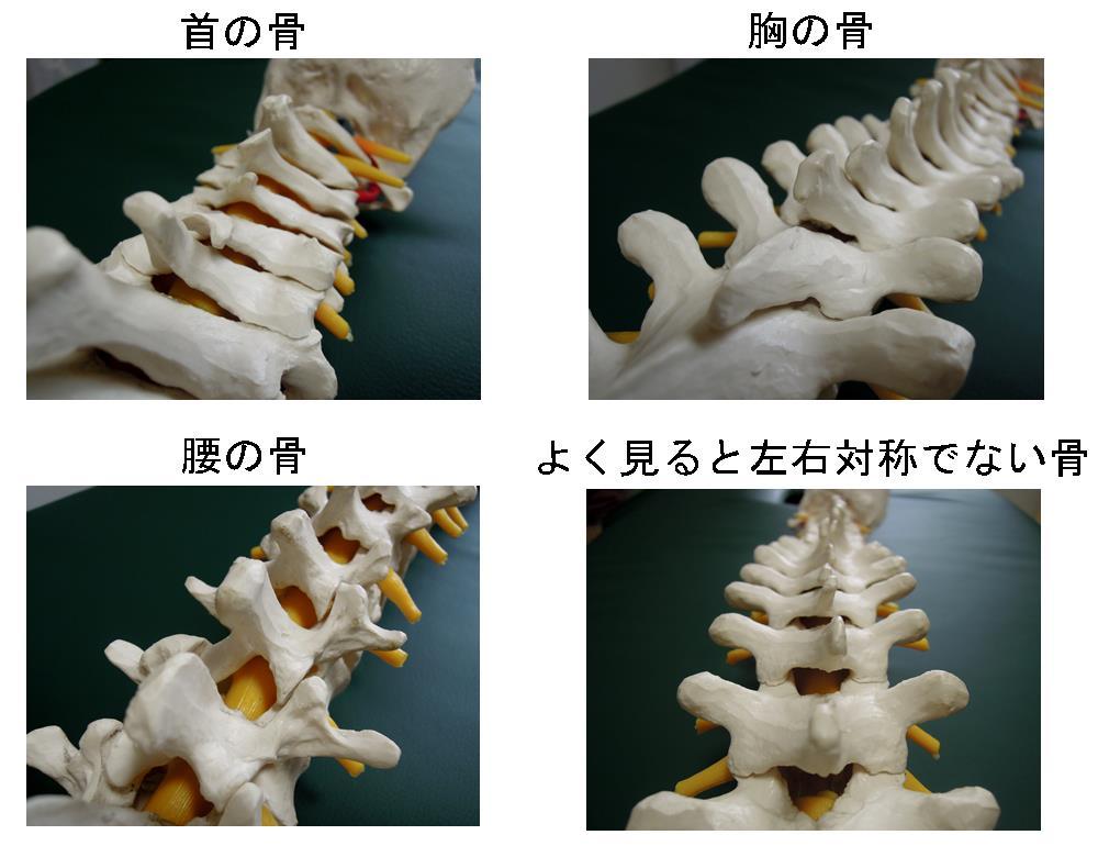 生駒市の整体院「理楽ウェーブ」の背骨の種類の画像