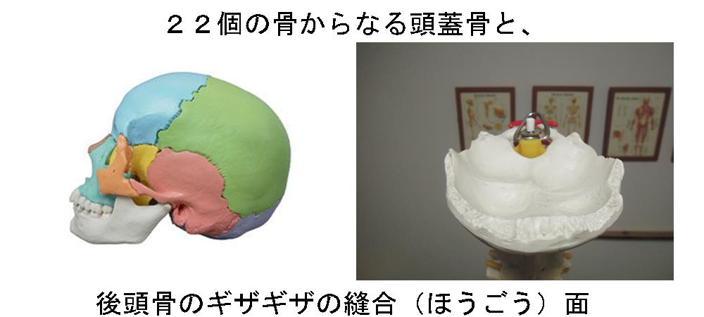 生駒市の自律神経専門整体院「理楽ウェーブ」の頭蓋骨と後頭骨の画像