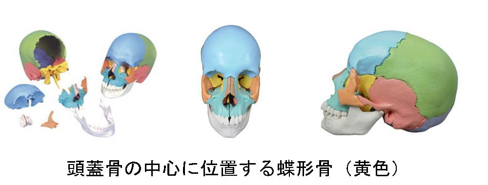 生駒市の自律神経専門整体院「理楽ウェーブ」の頭蓋骨画像