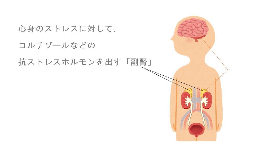 眩しく感じる要因の1つ副腎疲労|生駒市の自律神経専門整体院