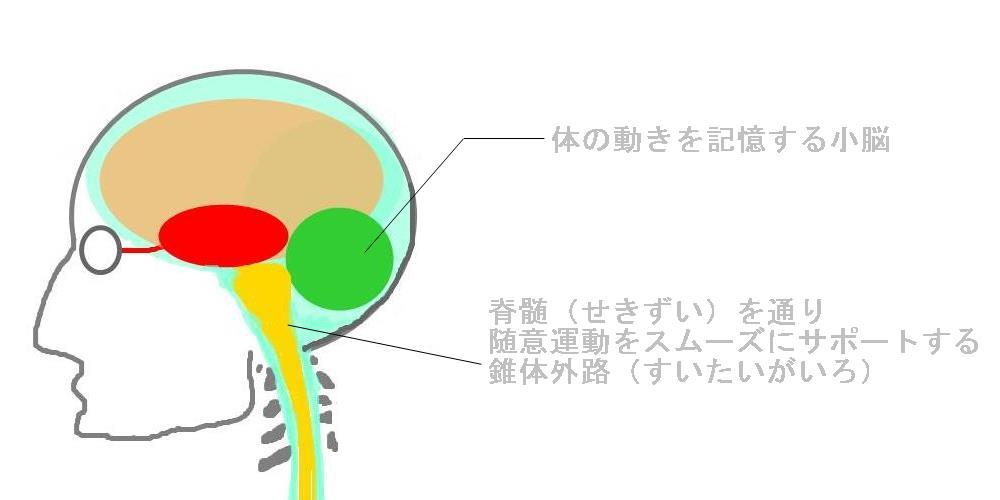 随意運動をサポートする錐体外路|生駒市の自律神経専門整体院