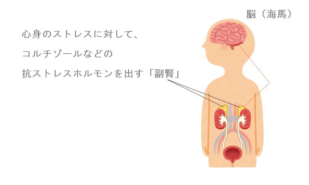 副腎疲労症候群|生駒市の自律神経専門整体院