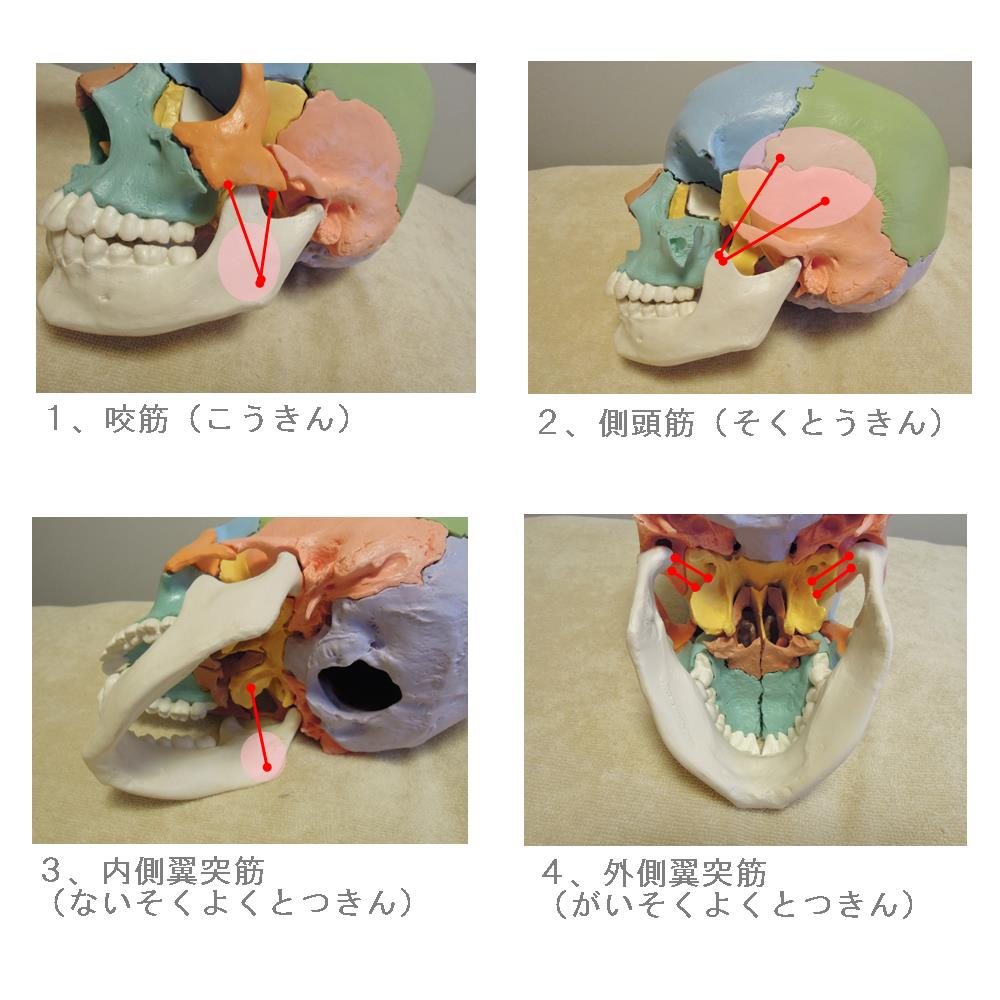 生駒市の自律神経専門整体院の顎関節咀嚼筋群