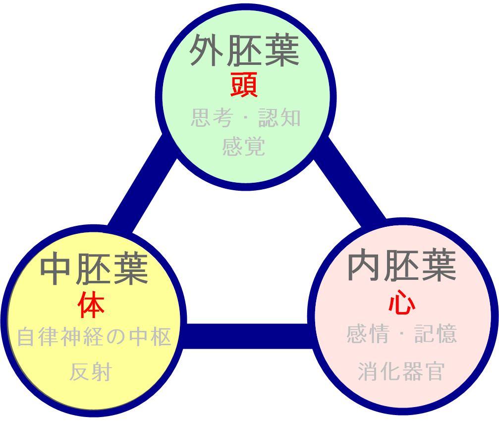三胚葉と頭心体|生駒市の自律神経専門整体院